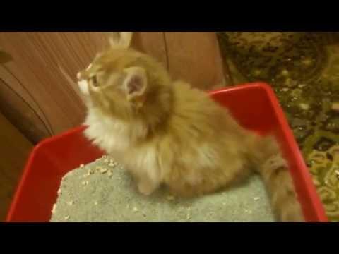 Как приучить рыжего котенка к лотку? Из личного опыта!