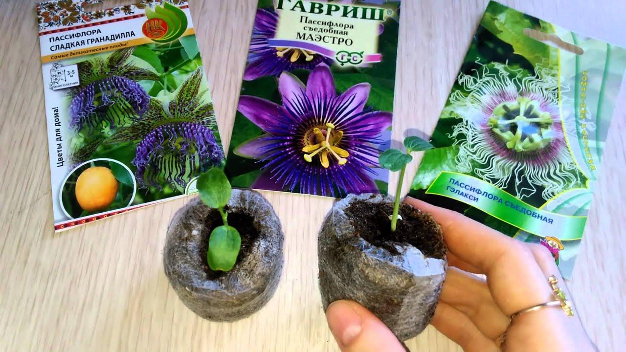 Выращивание маракуйя из семян в домашних условиях 62