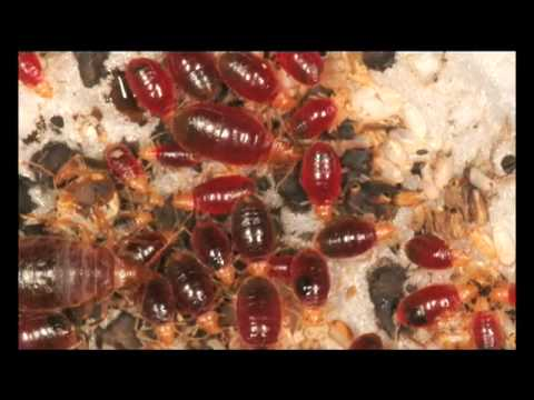 Why Bed Bugs Will Come