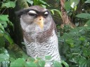 Malay Eagle Owl Video