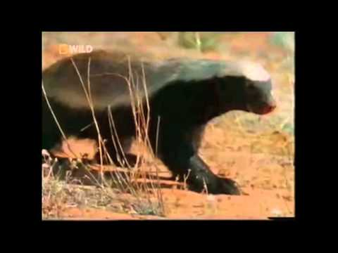 The Honey Badger is listed (or ranked) 22 on the list The Top 100 Weirdest, Most Amazing Creatures Ever On Earth