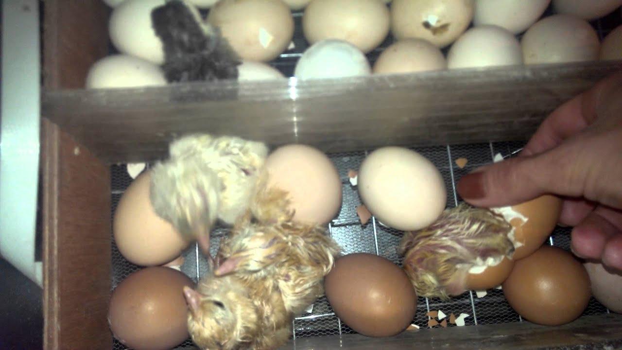 Как сделать ингаляцию цыплятам