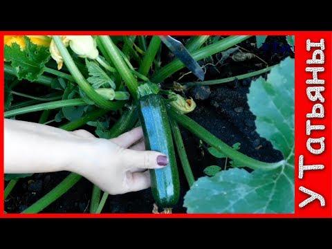 КАБАЧКИ! СЕКРЕТЫ урожайности КАБАЧКОВ. Удобрение /подкормка/ для кабачков. Выращивание кабачков.