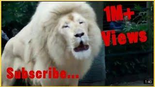 White lion Roar.... White Avenger 💪💪💪