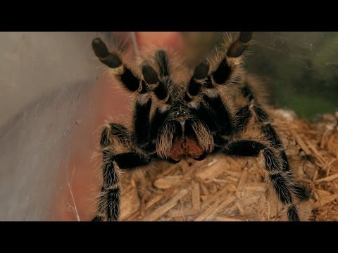 Know If a Tarantula Is About to Attack | Pet Tarantulas