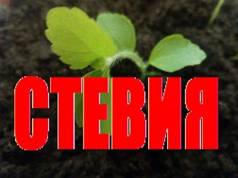 СТЕВИЯ ЗАМЕНИТЕЛЬ САХАРА! Как вырастить стевию из семян? Как выращивать стевию в домашних условиях?