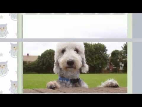 Como Adiestrar Un Bedlington Terrier