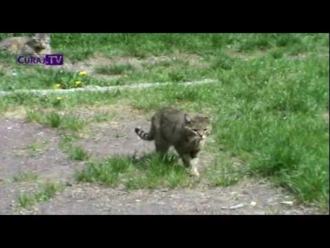 Curaj.tv - Pisici în Călduri video