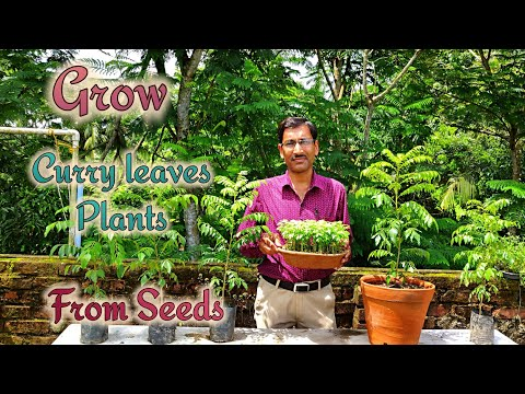 How to Grow Curry Leaves Plant by Seeds.