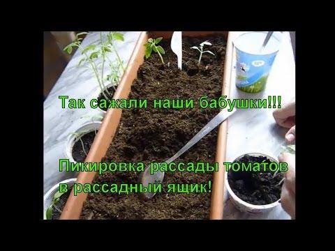 рассада помидор на продажу как вырастить
