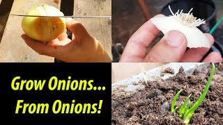 How To Grow An Onion From An Onion Top (2019)