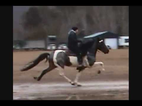 BIG BLUE MADNESS -SPOTTED ROAN SPEED RACKING STALLION