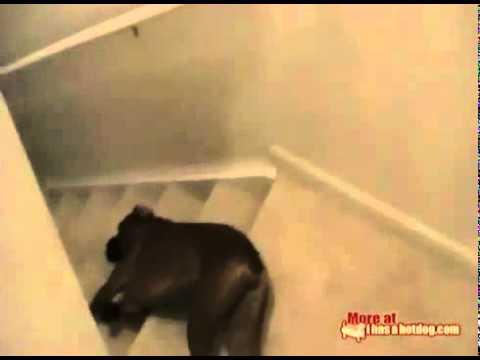 Perros - Como bajar las escaleras en un día de resaca