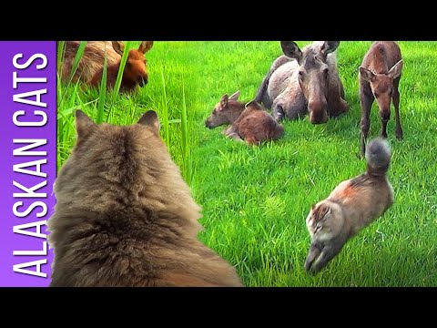 Cat vs Moose - Stalking Moose Twins Pt. 2 - Homer Alaska