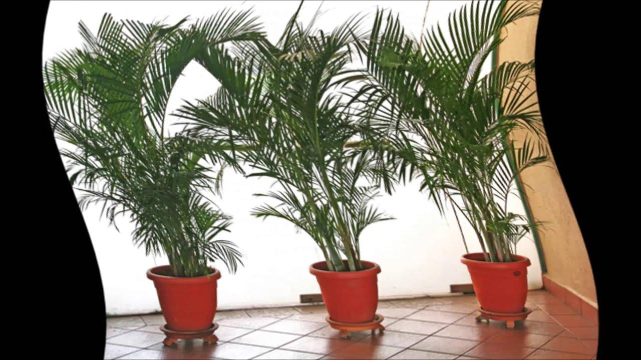 Домашние пальмы - разновидности комнатных пальм, фото с 5