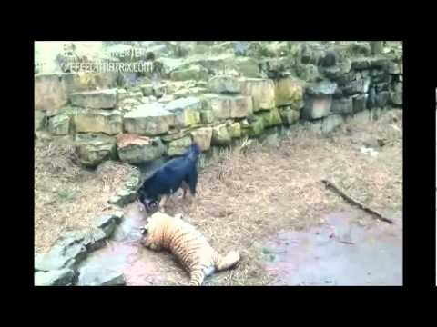 Tiger VS Dog in Riga Zoo