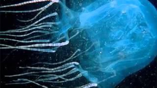 La medusa cubo, el animal marino más peligroso del mundo