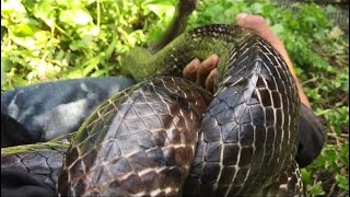 Vlog 69: Breaking The Snake With An Old Buffalo Perennial Nearly 3 # # Youtub