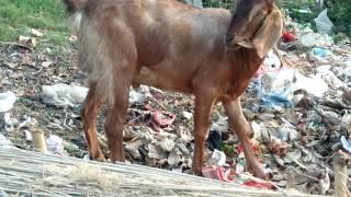 Goat X Video