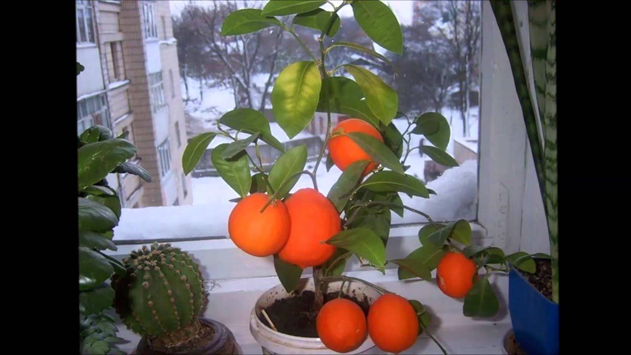 Апельсин выращивание в домашних условиях из косточки 533