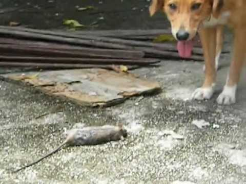 lucky at his rat catching skills.AVI
