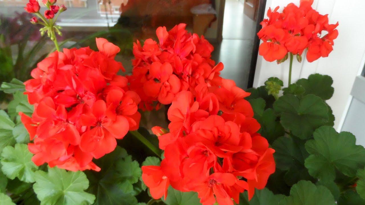 Комнатный цветок пеларгония фото и уход