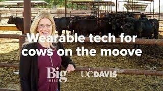 Wearable technology for dairy cows: UC Davis Smart Farm Big Idea