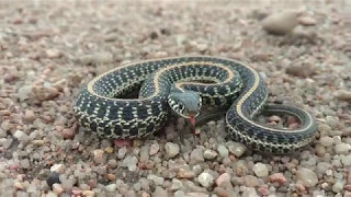 baby garter snake in Kansas putting up a strong defense act