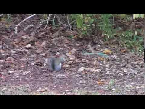 Squirrel Hunt with 17hmr Nov. 1st 2013