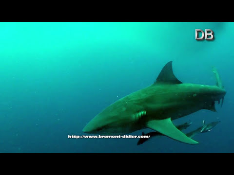 Nages et plonges avec les requins bouledogues (Requin du Zambeze - Zambezi sharks - Bull shark)