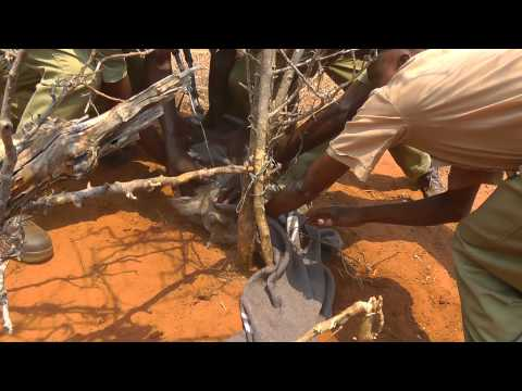 Victoria Falls Anti Poaching Unit saves a warthog from a poachers snare.