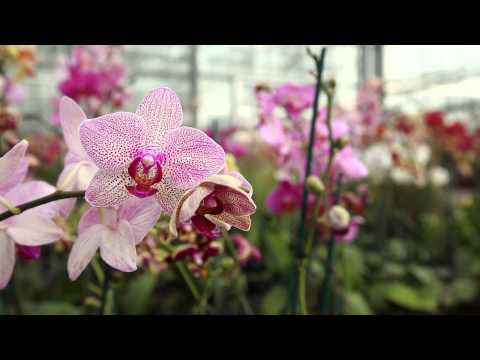 Behind the Scenes at The Orchid Show: Key West Contemporary Episode 2