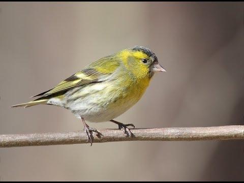 Ручной ЧИЖ БОРЬКА:) Birds mystery of nature