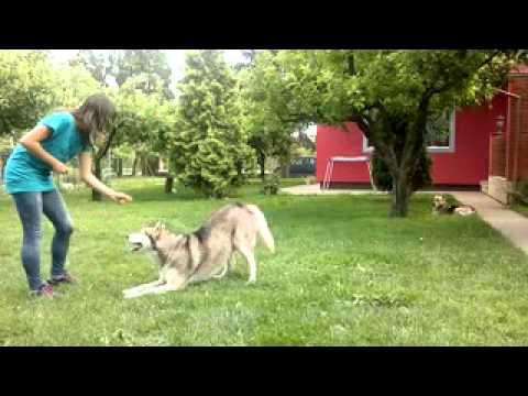 Husky Ron Tricks