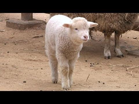 ヒツジの赤ちゃん - 埼玉県こども動物自然公園 -