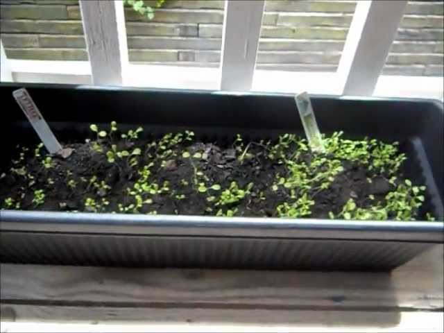 How To Grow Lettuce From Seeds Part 1