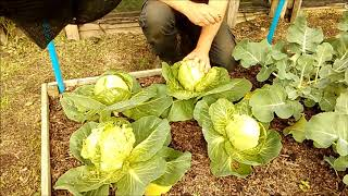 Allotment Update 30/6/20 More harvesting & Preparing the Crop for storage