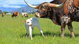 Texas Longhorn Bull Iron Willed