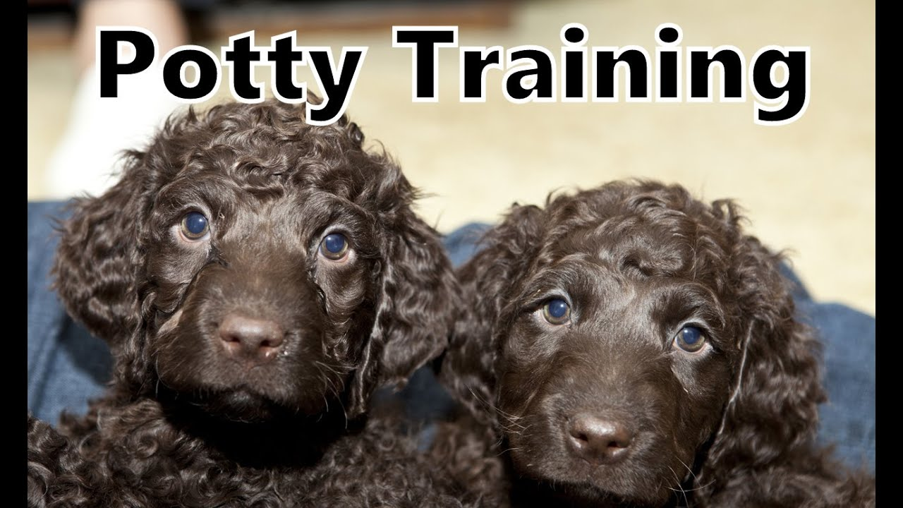 Training Spaniel Puppies Spaniel Puppy Training