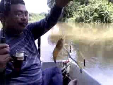Freshwater Prawns Fishing / Memancing Udang Galah