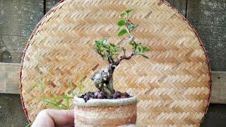 Thử nghiệm đất trồng mới với em sam hương mini