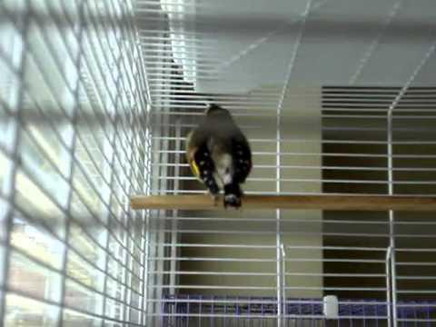 Bosnian  Goldfinch Chardonneret Mostarski Stiglic! Part3    YouTube/european goldfinch