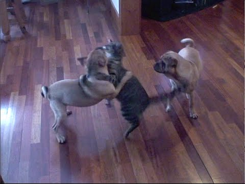 Cat Vs Dogs - The Ultimate Pet Fighting Championship video