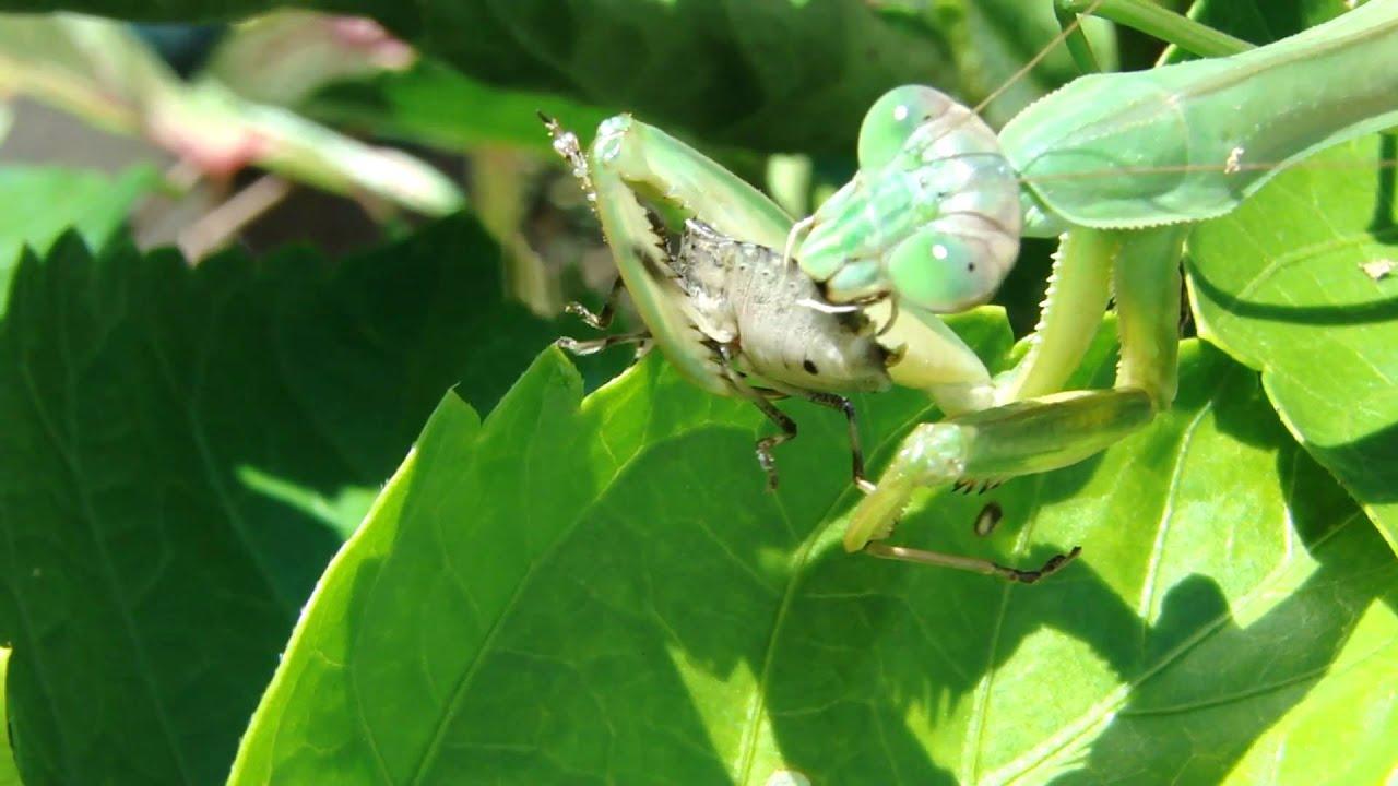 Praying Mantis Eating Spider Praying Mantis Eats Stink Bug