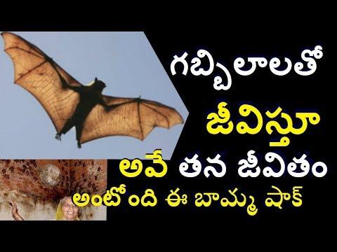 400 గబ్బిలాలను పెంచుతున్న ఈ బామ్మ చూస్తె ఆశ్చర్యపోతారు/Nipha virus /Trending Telugu info media facts