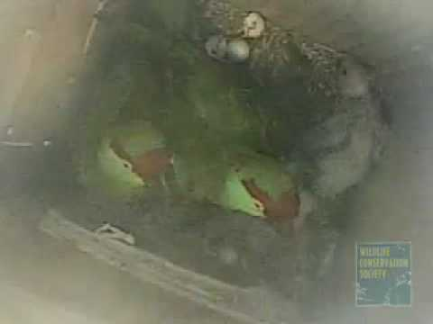 Thick-Billed Parrot Chicks at the Queens Zoo