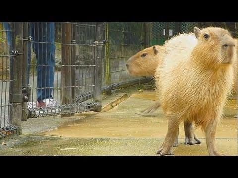 カピバラ大脱走ヲ阻止セヨ (Prevent escape of the capybara)