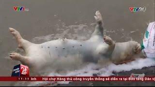 Tin Tức VTV24 - Ngày 13/11/2016:  Kinh Hoàng Những Con Lợn Chết Được Phù Phép Thành Lợn Mán