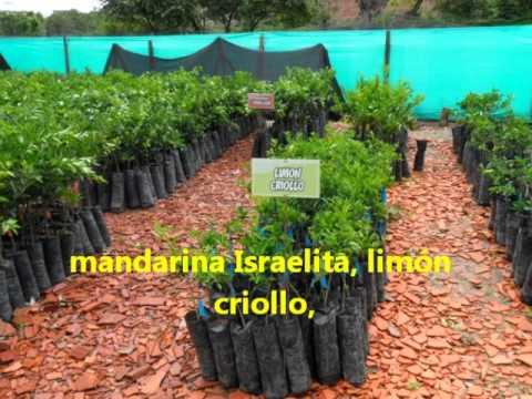 Viveros en norte de santander el nogal y el zulia youtube for Viveros de arboles frutales en chihuahua