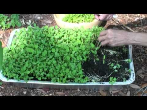 Grow Fenugreek Leaves(Kasoori Methi) in your backyard